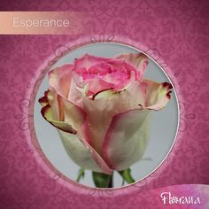 Give your space a wonderful touch of freshness with our marvelous Esperance, a bicolor rose. Nature's colors that will astound you. Organic Roses, Touch, Space, Colors, Nature, Flowers, Plants, Floor Space, Naturaleza
