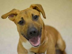 SAFE 4-21-2015 by Shore Animals Volunteer Enterprise (S.A.V.E.) --- Manhattan Center  CHESTER – A1032610  ***NEW HOPE ONLY, FOOD***  MALE, BROWN / BLACK, BLACK MOUTH CUR MIX, 7 mos OWNER SUR – AVAILABLE, NO HOLD Reason MOVE2PRIVA Intake condition EXAM REQ Intake Date 04/08/2015