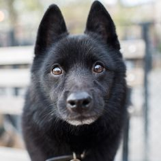 """Badger, Schipperke (10 y/o), Tompkins Square Park, New York, NY • """"They can live until they're 20."""""""
