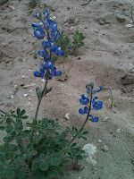 bluebonnets: the state flower