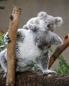 koala riding koala