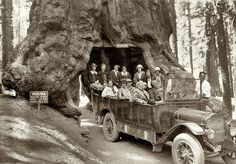 Wawona Tree was a famous giant sequoia that stood in Mariposa Grove, Yosemite National Park. It had a height of 227 feet (69 m) and was 90 ft (27 m) in circumference. A tunnel was cut through the tree in 1881. (Sign says road was cut 1875.) The Wawona Tree fell in 1969 under an estimated two ton load of snow on its crown. The giant sequoia is estimated to have been 2,300 years old.