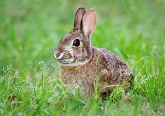 Rabbit (Oryctolagus cuniculus). http://blog.powerscourt.ie/blog/bid/146447/Meet-the-locals-Mammals-at-Powerscourt-Waterfall