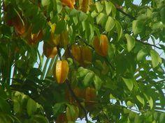 Star fruit tree - mmmm mm yum!