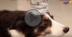 Leroy is a clever and cute Border Collie...  Here he's presenting a fun compilation of his amazing tricks...  Look at him very focus on every word and every cue his owner gives him! :)  What is your dog's best trick?  Watch & Comment: