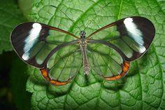 mariposa transparente wallpaper hd - Buscar con Google