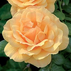 'Easy Going' floribunda rose. 4 to 5 feet tall by 5 to 6 feet wide. Strong fruity fragrance. (Jackson & Perkins)