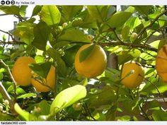 Vediamo come e quando potare una pianta o un albero di limoni facendo  attenzione a non danneggiarlo con una operazione fai da te attenta e  precisa.