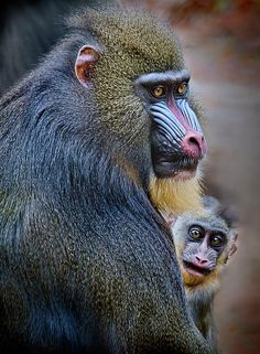 Female Mandrill Baboon and baby  repinned by www.loisjoyhofmann.com who sailed around the world (but I never saw this!)