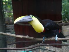Our toucan strikes a pose for the camera!