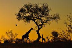 A Giraffe Sunset, Londolozi, South Africa