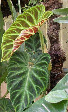 Kliknij, aby zobaczyć w pełnym rozmiarze. Indoor Garden, Indoor Plants, Elephant Ear Plant, Rare Plants, Cool Plants, Tropical Plants, Shade Garden, Botany, Houseplants