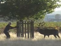 Man chased up a tree by angry red deer is caught on video