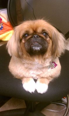 <3 <3 <3 Yorkies, Pekingese Puppies, Cute Puppies, Cute Dogs, Dogs And Puppies, Fu Dog, Dog Cat, Dog Pictures, Animal Pictures