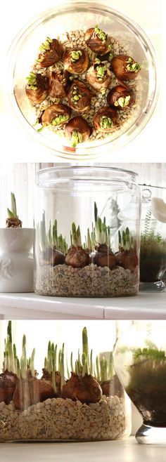 Bulbi Forcing Paperwhites bulbs in water, love how they use white fish tank gravel, hides the white roots. Garden Bulbs, Garden Plants, Indoor Plants, Container Gardening, Gardening Tips, Indoor Gardening, Deco Nature, Spring Bulbs, Deco Floral