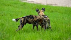 This pup decided to use his pack mate as an agility obstacle. #africa #safari #wild #painted #dogs
