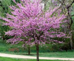 Cercis canadensis - Eastern Redbud Eastern Redbud is an outstanding small tree, both for eyepopping color in spring and low maintenance. Most of the year it's dense with heart shaped leaves. In early spring, clusters of magenta blossom Trees For Front Yard, Small Front Yard Landscaping, Backyard Landscaping, Landscaping Ideas, Front Yards, Backyard Patio, Landscaping Borders, Luxury Landscaping, Country Landscaping