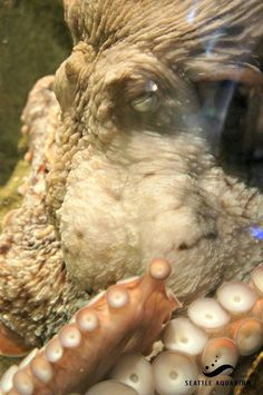 shhhhh he is sleeping. Giant Pacific Octopus