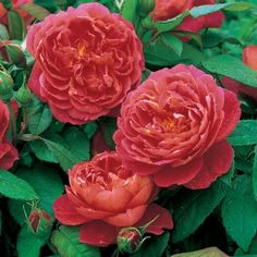 'BENJAMIN BRITTEN' David Austin rose is red with a touch of orange, Also recorded as salmon-pink that changes with age to a strong shad of pure pink. Double/full bloom; medium height, vigorous shrub with dense growth and excellent foilage. Hardy; may be grown in a container. 4 ft. x 3 ft. or 8-10 ft. climber. abt $30  YES