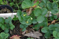Strawberry plant - How to grow Strawberry plant , growing Strawberry in your gar. Strawberry Plants, Beautiful Fruits, Grow Your Own, Season Colors, Gardening Tips, Modern Design, Succulents, Strawberries, Awesome