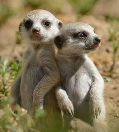 Start your week off right with our new meerkat pups. (photo by Mike Wilson) Animal 2, Mundo Animal, Wild Animals Pictures, Animal Pictures, Cute Photography, Animal Photography, Nature Animals, Animals And Pets, Beautiful Creatures