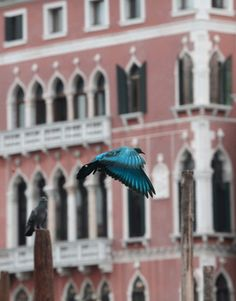 Turquoise painted pigeon