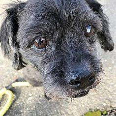 AMSTERDOG - New York, New York - Terrier (Unknown Type, Small). Meet Minnie, a for adoption. https://www.adoptapet.com/pet/20181688-new-york-new-york-terrier-unknown-type-small-mix