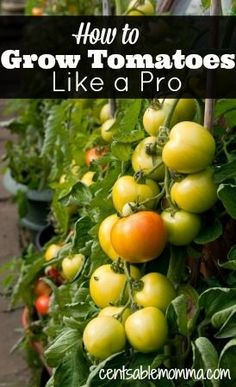 Check out these tips for how to grow tomatoes like a pro.How to Grow Tomatoes Like a Pro