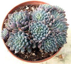 Pungilandia - Echeveria setosa rundelli