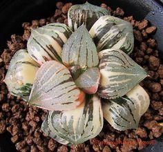 picta hybrid variegata by Renny's Haworthia House Plants, Rare Plants, Planting Flowers, Plants, Cool Plants, Cacti And Succulents, Cactus Plants, Orchids, Planting Succulents