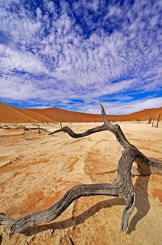 Iconic shot of Namibia's Sossusvlei and Camel Thorn Trees! | Discover more: stories.namibiatourism.com.na