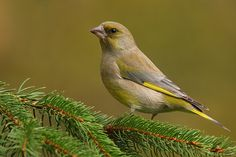 Europe, Birds, Nature, Animals, Greenfinch, Animales, Animaux, Bird, The Great Outdoors