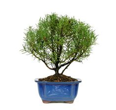 You can add the shavings from our Rosemary Bonsai Tree to your cooking recipe! How cool is that? It makes a unique gift for a friend who loves to cook, and will add an exotic feel to their home. See more bonsai trees for sale at www.nurserytreewholesalers.com!