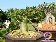 """Adenium Thai Socotranum """"Contest Form"""",   de  Siam Adenium"""