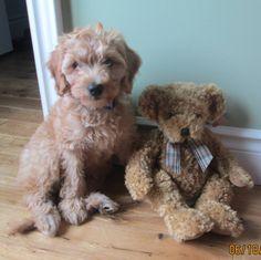 Australian Labradoodle Puppies Australian Labradoodle Puppies, Teddy Bear, Dogs, Animals, Animaux, Doggies, Animal, Animales, Pet Dogs