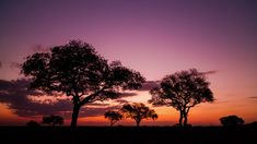 Late afternoon static timelapse of Marula trees (Sclerocarya birrea) silhouette landscape, African sunset with dramatic clouds as sun sets on horizon with flare and light streaks, dip to black. African Sunset, Dramatic Lighting, Sun Sets, Tree Silhouette, Stock Footage, Dip, Flare, Trees, Salsa