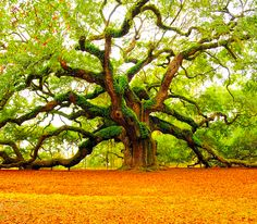 Must see this 1,500 year old tree one day. The Angel Oak Tree on Johns Island South Carolina. Beautiful!