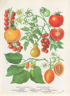 Tomatoes Fruit & Flowers Food Chart Vegetable Botanical Lithograph Illustration For Your Vintage Kit- Etsy- Illustration Botanique, Plant Illustration, Botanical Illustration, Vintage Botanical Prints, Botanical Drawings, Botanical Art, Posters Vintage, Fruit Flowers, Plant Drawing