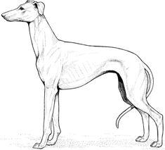 Ausmalbild: Whippet. Kategorien: Hunde. Kostenlose Ausmalbilder in einer Vielzahl von Themenbereichen, zum Ausdrucken und Anmalen.