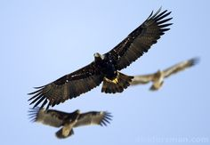The star bird in the center is an adult Eastern Imperial Eagle, the one on the left is a juvenile Greater Spotted Eagle and the top right one is an immature Steppe Eagle by Dick Forsman.