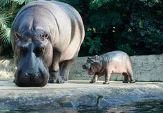 A baby hippo and his mother Nicole are pictured at the Berlin Zoo.  (Reuters / Tobias Schwarz)
