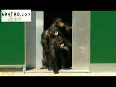 Lab chimps see daylight for first time in 30 years