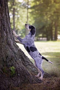 Dog Training Name .Dog Training Name English Coonhound, Bluetick Coonhound, Asian Dogs, Tough Dog Toys, Dog Grooming Shop, Matou, Military Dogs, Large Dog Breeds, Outdoor Dog