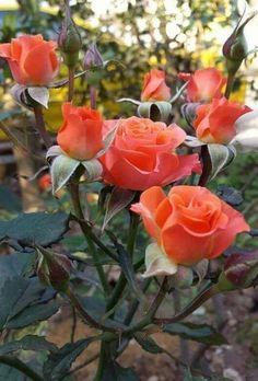 Beautiful Rose Flowers, Pretty Roses, Romantic Roses, Colorful Flowers, Rare Orchids, Rosa Rose, Bloom, Lavender Roses, Orange Roses