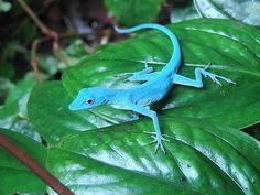 ECOJARAGUA: Gorgona Blues: lagartos en peligro de extinción mundial