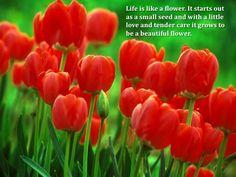 Darwin Tulip Bulbs Red Oxford, Tulipa - Fall Bulbs from American Meadows Red Tulips, Tulips Flowers, Lavender Flowers, Gerbera, American Meadows, Tulip Bulbs, Flower Names, Spring Bouquet, Bulb Flowers