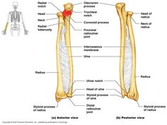 1000+ images about anatomy on Pinterest   Human leg, Bone jewelry and ...