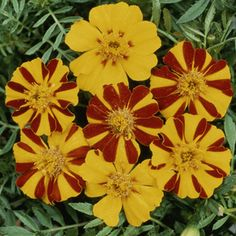 Marigolds - great companion plant