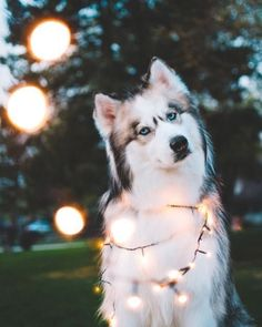 dog wrapped in white lights