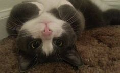 Can I Have a Belly Rub Please? - click to see lots of fabulous pictures of cats and kittens to brighten your day.